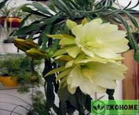Epiphyllum crenatum kimnachii - эпифиллум кренатум кимнаши