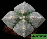 Astrophytum myriostigma v. Strongylogonum f. Quadricostatum ch. Blanco