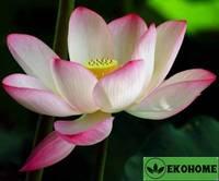 Nelumbo nucifera light pink lotos - лотос орехоносный светло-розовый цветок