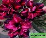 Adenium obesum double flower aimo