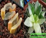 Haworthia truncate variegated x haworthia retusa variegated