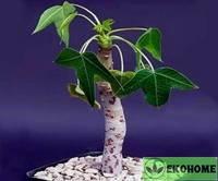 Jatropha mahafalensis - ятрофа махафаленсис