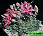 Graptopetalum bellum - tacitus bellus - граптопеталум красивый - тацитус красивый