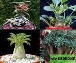 Dorstenia mix (dorstenia foetida, dorstenia lancifolia, dorstenia lavrani, dorstenia brasiliensis, dorstenia gigas, dorstenia hildebrandtii)
