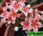 Adenium obesum flower language