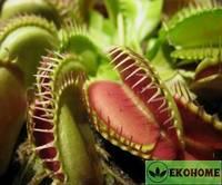 Венерина мухоловка - dionaea venus fiegenfalle muscipula