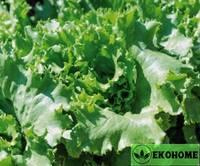 Салат тропа войны патио - lettuce warpath patio