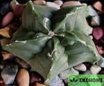 Astrophytum myriostigma strongylogonum (астрофитум мириостигма стронгилогонум)