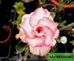 Adenium obesum hybrid ko_64