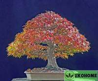 Acer saccharinum - клен сахаристый