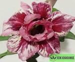 Adenium obesum double flower plum passion адениум махровый сливовая страсть