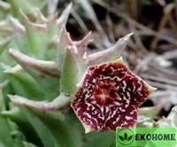 Orbea carnosa subsp. Keithii - орбея мясистая подвид кейта