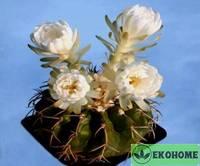 Discocactus crystallophilus