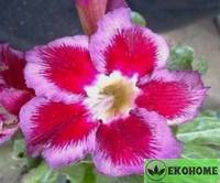 Adenium obesum desert rose wild scarlet