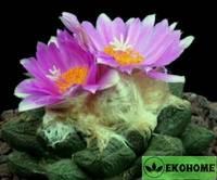 Ariocarpus fissuratus - ариокарпус растрескавшийся