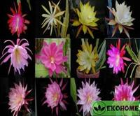 Epiphyllum hybrid mix - смесь семян разных сортов эпифиллюма