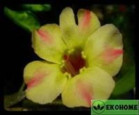 Adenium obesum  silk of yellow (адениум обесум желтый шелк)