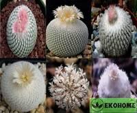 Epithelantha mix - эпителанта смесь