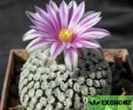 Pelecyphora valdeziana var. Albiflora - пелецифора вальдеса белая форма