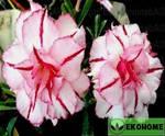 Adenium obesum triple flower king stripes (адениум обесум махровый королевский полосатый)