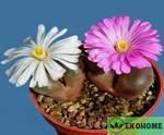 Ophthalmophyllum mix