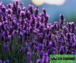 Lavandula angustifolia - лаванда узколистная - лаванда настоящая - лаванда колосистая