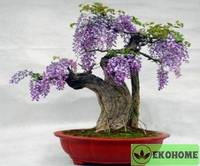 Wisteria chinensis - вистерия китайская - глициния