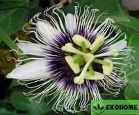 Passiflora edulis flavicarpa - пассифлора эдулис флавикарпа (маракуйя)