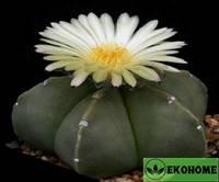 Astrophytum myriostigma nudum (астрофитум мириостигма разновидность нудум)
