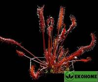 Росянка дросера-соннентау капенсис полностью краснопурпурная - drosera-sonnentau capensis all red purple