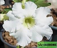 Adenium obesum desert rose white unicorn (адениум обесум белый единорог)