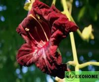 Кигелия африканская - kigelia africana - колбасное дерево