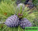 Pinus sibirica - кедр сибирский (сосна сибирская кедровая)