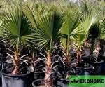 Washingtonia filifera - вашингтония нитеносная