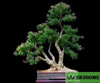 Berberis vulgaris - барбарис обыкновенный