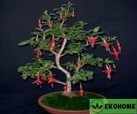 Фуксия древовидная - fuchsia arborescens