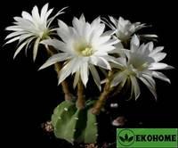 Echinopsis subdenudata - эхинопсис полуобнажённый