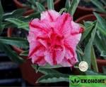 Adenium obesum hybrid ko_62