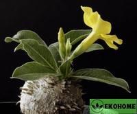 Пахиподиум хоромбензе - pachypodium horombense