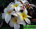 Plumeria alba - плюмерия белая