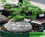 Dioscorea elephantipes - testudinaria elephantipes - rhizemys - dioscorea montana - слоновья нога - диоскорея слоновья