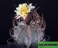 Astrophytum capricorne v. Niveum