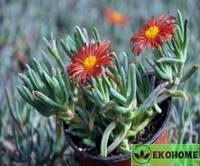 Malephora crocea - малефора шафрановая