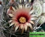 Eriosyce aurata