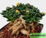 Nananthus vittatus - нанантус виттатус