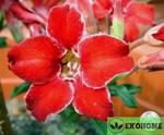 Adenium obesum small red plum адениум обесуи маленькая красная слива