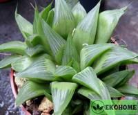 Хавортия блестящая - haworthia nitidula
