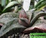 Gasteria ellaphieae kouga dam