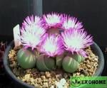 Gibbaeum heathii - гиббеум хити