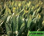 "Табак ""вирджиния светлый лист"" - nicotiana tabacum ""virginia bright leaf"""